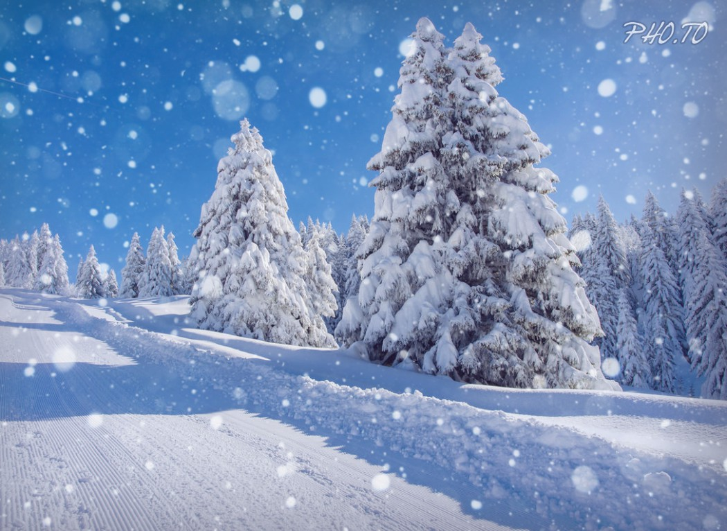 Snowflakes are added to winter landscape with pine trees